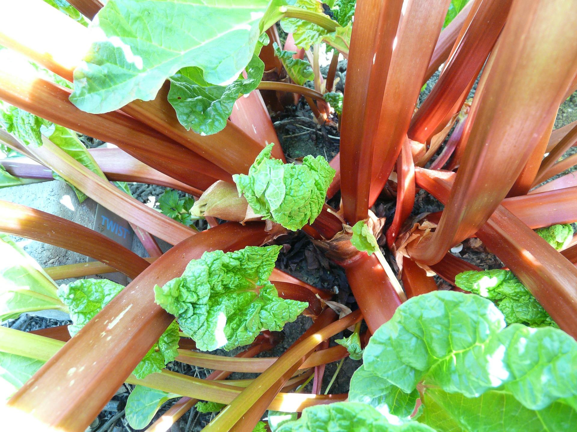 rhubarb-54084_1920