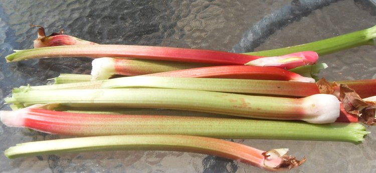 Rhubarb freshly picked from the garden