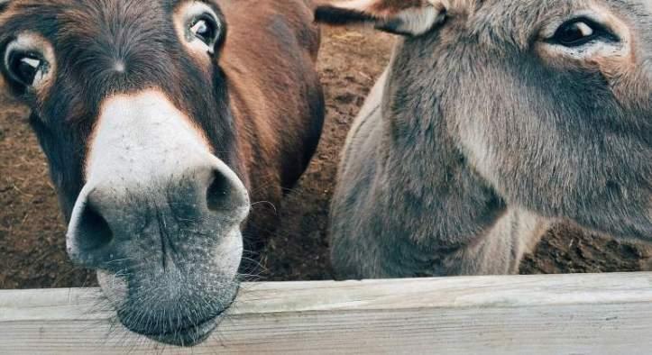 Donkeys on an Ejiao farm